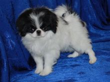 Temperate Japanese Chin Puppies For Adoption