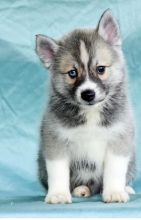 C.K.C MALE AND FEMALE Pomsky Puppies PUPPIES AVAILABLE