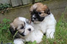 C.K.C MALE AND FEMALE SHIH TZU PUPPIES AVAILABLE