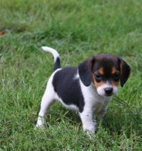 C.K.C MALE AND FEMALE BEAGLE PUPPIES AVAILABLE Image eClassifieds4U