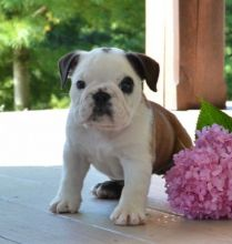 C.K.C MALE AND FEMALE ENGLISH BULLDOG PUPPIES AVAILABLE Image eClassifieds4U