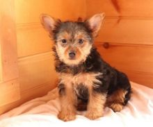 C.K.C MALE AND FEMALE YORKSHIRE TERRIER PUPPIES AVAILABLE Image eClassifieds4U