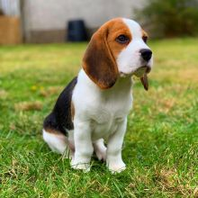 Affectionate and intelligent beagles puppies now available