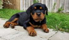 Gorgeous CKC reg Rottweiler Male and Female Puppies
