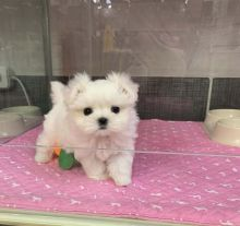 We have some beautiful Maltese puppies