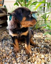 Beautiful Rottweiler Puppies male and female puppies for adoption