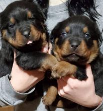 beautiful Rottwieler Puppies For adoption