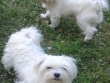 AWESOME PERSONALITY MALTESE PUPPIES FOR ADOPTION