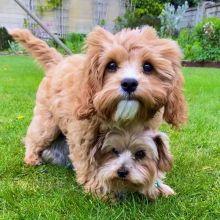 loving Cavapoo Puppies For Adoption