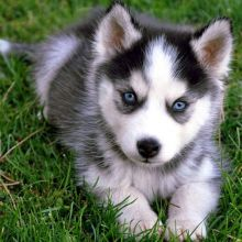 Free Adoption Blue Eye Siberian Husky puppies ready to Go @(231) 525 -2183