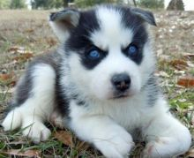 Free Adoption Blue Eyed Siberian Husky puppies TXT (231) 525 -2183