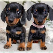 Excellence Dachshund Puppies Male and Female for adoption