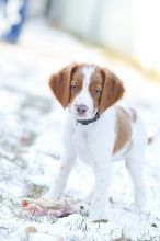 Adorable Brittany Spaniel puppies! @(431) 302-3667