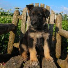 CBCA Reg'd German Shepherd Puppies