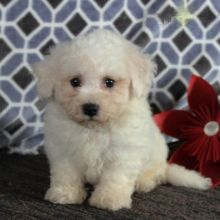 CKC Bichon Frise Pups, 2 still available! Ready to go this week!
