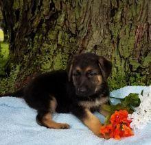 German Shepherd Puppies ♥️