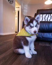 Adorable Siberian Husky for adoption now
