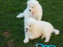 Beautiful Samoyed puppies Available .
