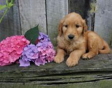 CBCA Reg'd Golden Retriever Puppies