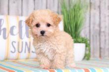 CBCA Reg'd Maltipoo Puppies