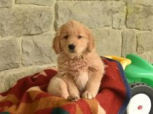 CKC Golden Retriever Pups, 2 still available! Ready to go this week!
