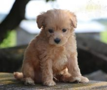 CKC Maltipoo Pups, 2 still available! Ready to go this week!
