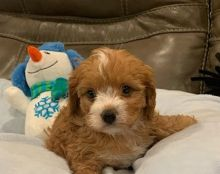 Ckc Cavapoo Puppies Email at us [ jessywalters2017@gmail.com ]