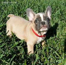 Gorgeous Ckc French Bulldog Puppies Available