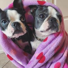 Sensational Ckc Boston Terrier Puppies Email at us [ jessywalters2017@gmail.com ]