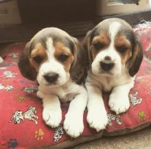 Awesome Male And Female Beagle Puppies Available