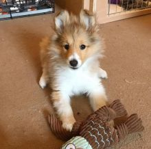 Charming Sheltie Puppies for Adoption