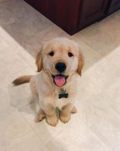 Ckc Golden Retriever Puppies Email at us [ jessywalters2017@gmail.com ]