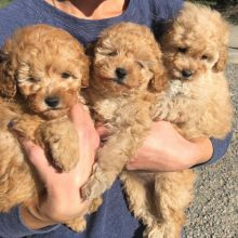 Fabulous Ckc Toy Poodle Puppies Email at us [ jessywalters2017@gmail.com ]
