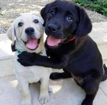 Gorgeous Labrador Retriever Puppies for Adoption