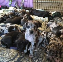 Healthy Great Dane puppies Available now black and white colors Male and Female