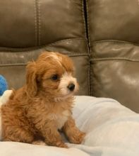 Intelligent and Affectionate Cavapoo Puppies