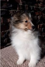 Lovely Sheltie Puppies For Adoption