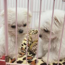 Purebred Maltese Puppies available.