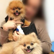Stunning Pomeranian Puppies For Re-homing