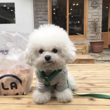Super Bichon Frise Pups For Re-homing