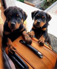 Very healthy Rottweiler Puppies For Re-homing