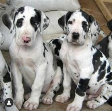 Well trained Great Dane puppies for new homes