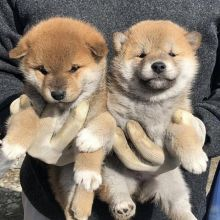 Exotic Ckc Shiba Inu Puppies Available