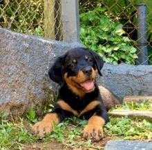 Eye-catching Ckc Rottwieler Puppies Available