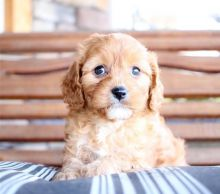 Remarkable Ckc Cavapoo Puppies Available