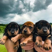 Astounding Ckc Dachshund Puppies Available