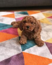 Enchanting Male and Female Toy Poodle Puppies for Adoption.