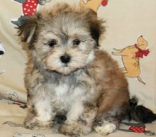 Fantastic Ckc Morkie Puppies Available