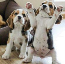 Gorgeous Male and Female Beagle Puppies For Adoption.