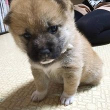 Smart Ckc Shiba Inu Puppies Available